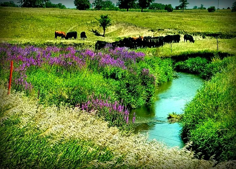 Cattle in Iowa Wild Flowers